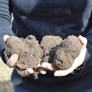 Hands holding Fresh truffles