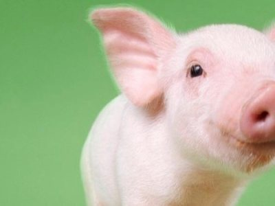 Angelic Piglet with big ears and a green background