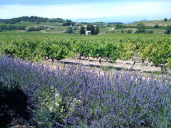 Fields of lavender and vineyards stretching out in the French countryside