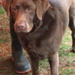 chocolate-brown-labrador-truffle-dog