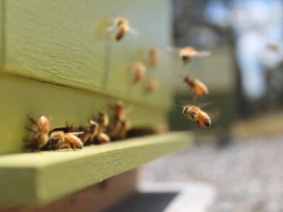 Ganymede Truffles bee hive and bees