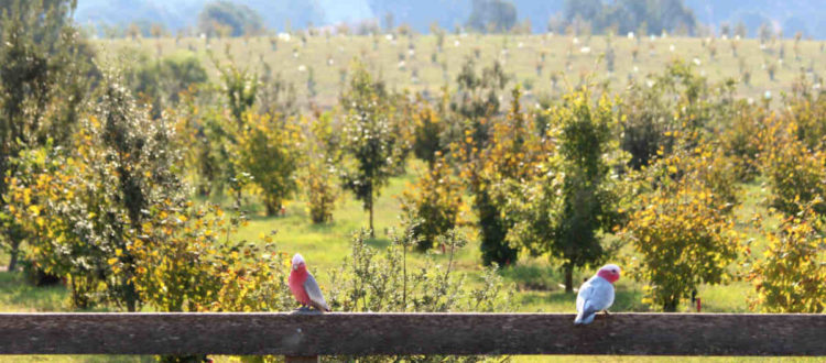 Galahs sitting on a wooden fence with a trufferie behind