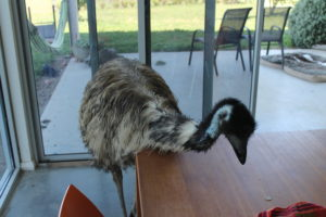 Emu inside a house looking at a table
