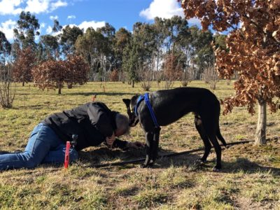 man and dog truffle hunting under oak tree