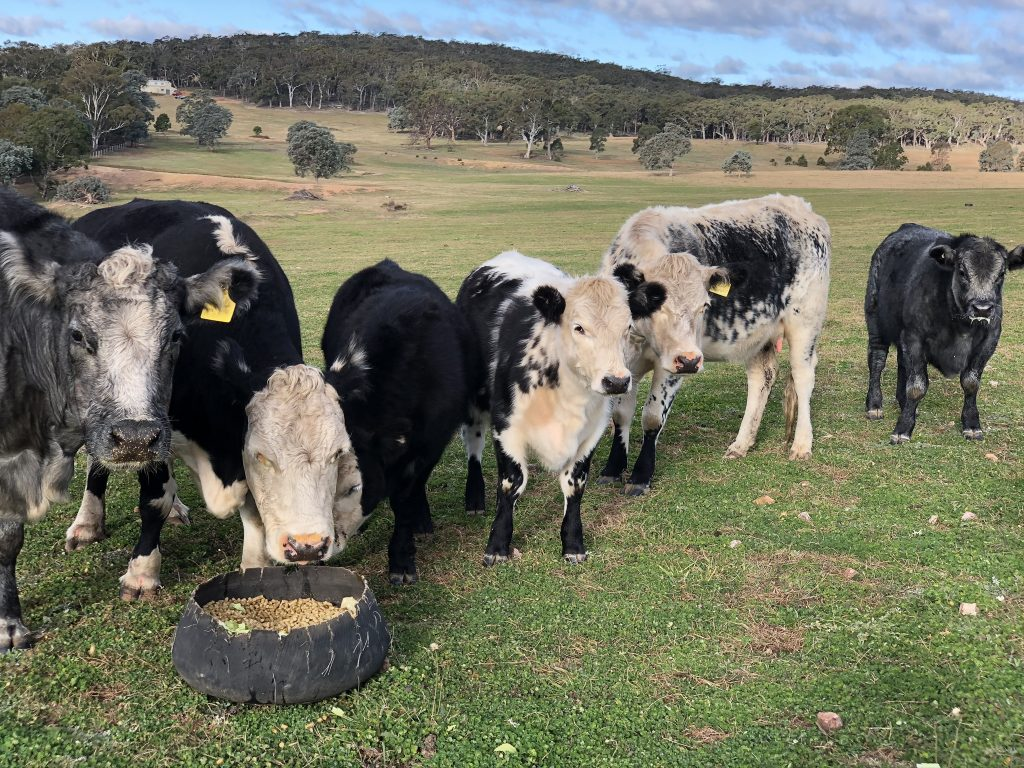 Cows being hand fed in Australian countryside